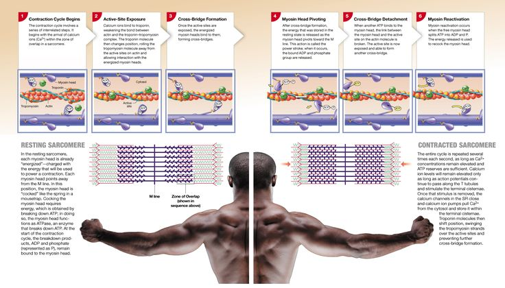 10.4: Motor neurons stimulate skeletal muscle fibers to contract at the neuromuscular junction