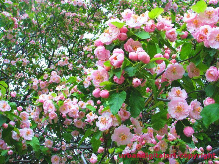 Digital Art/Desktop Wallpaper/Spring Blossoms