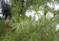 30 Samen der Tränenkiefer (Pinus wallichiana / griffity), extrem lange Nadeln