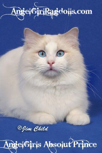 Ragdoll cattery in usa