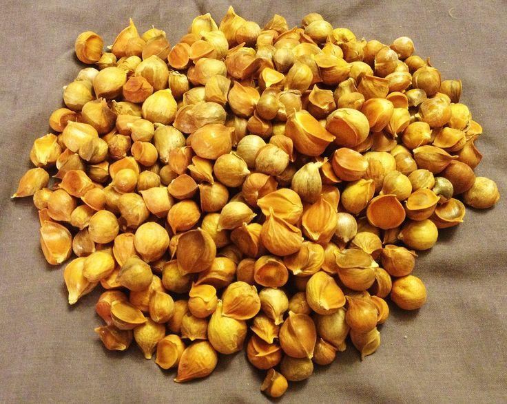 33 best Japanese Garlic (Ajo Japones) images on Pinterest