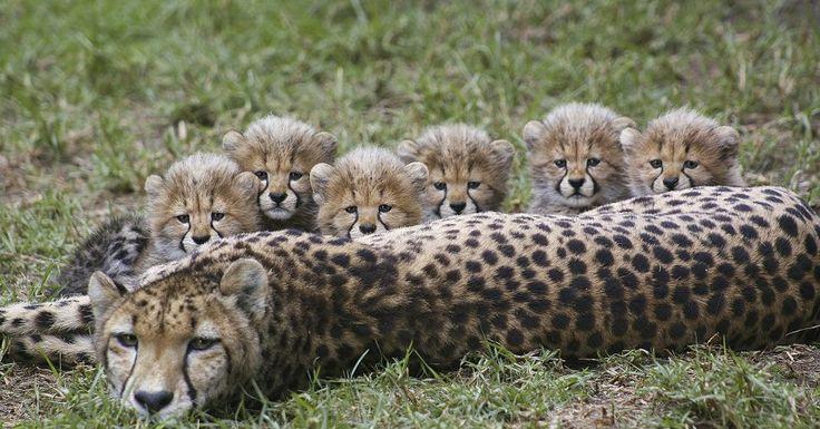 Cheetah mom Addison and cubs at the San Diego Zoo Global Cheetah Breeding Center
