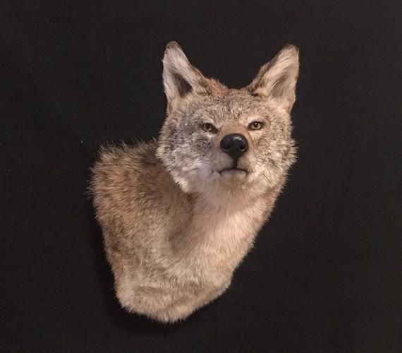 Coyote Taxidermy Head Shoulder Animal Wall Mount Etsy Animal Wall Mount Animals Taxidermy