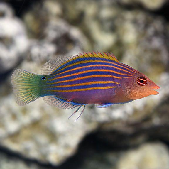Six Line Wrasse Saltwater Aquarium Fish Aquarium Fish Saltwater Aquarium