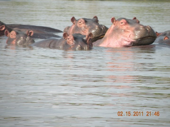 Crocodiles and Hippopotamus at Lake Chamo Arba Minch Southern Ethiopia