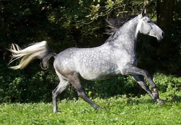 "Dappled Grey. Grey is an unnatural colour in horses that is a result of artificially selected breeding. While all grey horses will eventually turn white as they age, white grey horses have black skin while ""true"" white horses have pink skin."