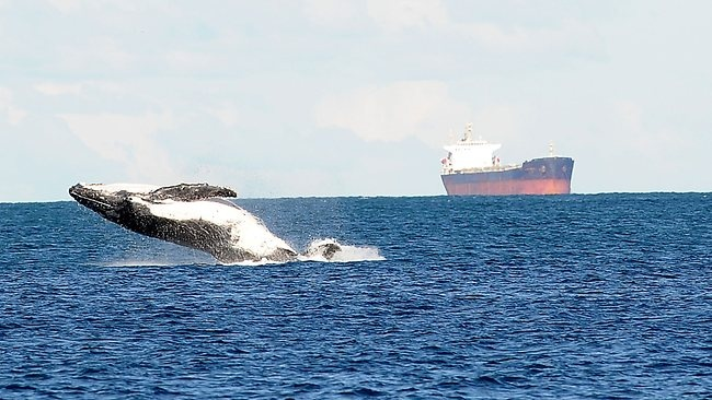 whale breaching off the coast of Newcastle, Australia - photo Lorimer Peter