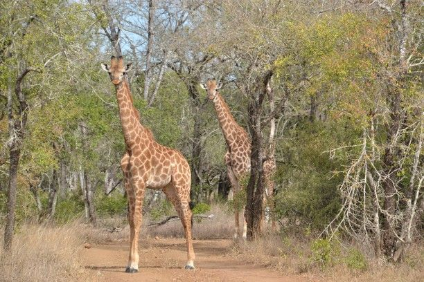 Mbuluzi, Hhohho, Swaziland — by Earthseeing. Met some giraffes when walking around the roads and trails in Mbuluzi Game Reserve - northeast of Swaziland, close to...