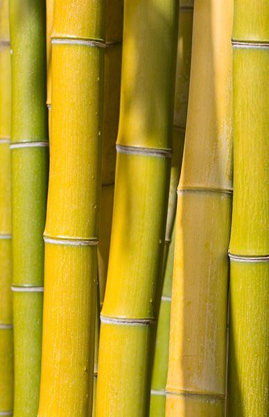 Bright yellow bamboo #colorsoftheweek