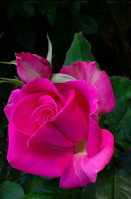 Rosa rosada viva   Bright pink rose - #flores #flowers #magenta