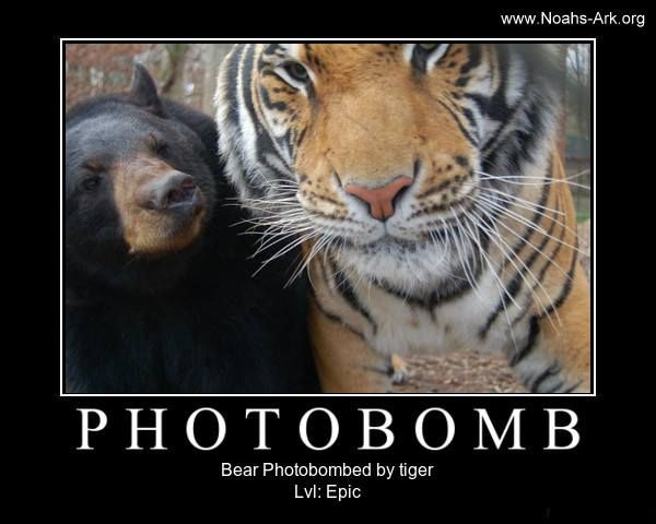 Little Anne #Bear Photobombed by a #Tiger (Doc)! www.noahs ...
