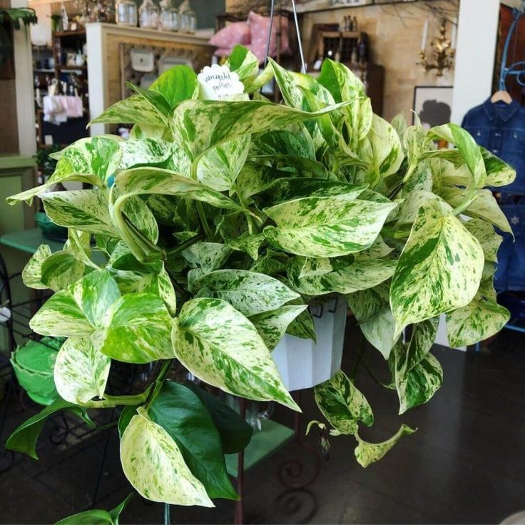 Types of Pothos Plant & Identification Guide