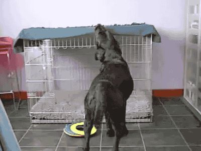 Dog Getting His Blanket For Bed cute animals dogs cat cats adorable dog puppy animal kittens pets gifs kitten gif funny animals