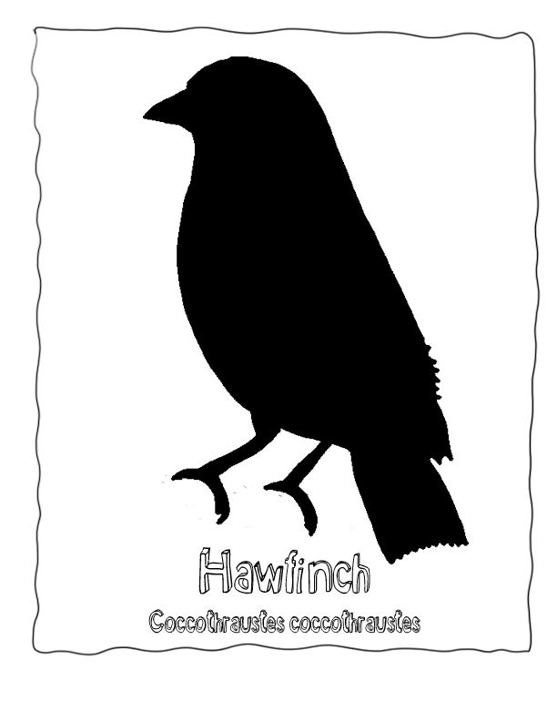 Bird Silhouette Bird Identification Poster Hawfinch Coccothraustes  at www.wonderweirded-wildlife.com/bird-identification-poster-hawfinch.html, Echos Bird Illustration , Bird Posters and Bird Coloring Page for Bird Spotters, Birding Activities for Homeschool and School Projects Teacher Resources, Free to Print