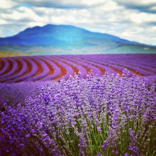 Dreamy fields of endless purple at Bridestowe Lavender Farm in Nabowla in Tasmania's north. #tasmania #lavander #discovertasmania Image Credit: Paul Fleming