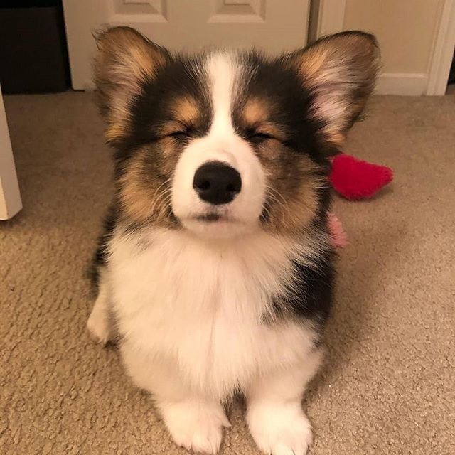 Sleeping Corgi Cute Corgi Corgi Dog Corgi