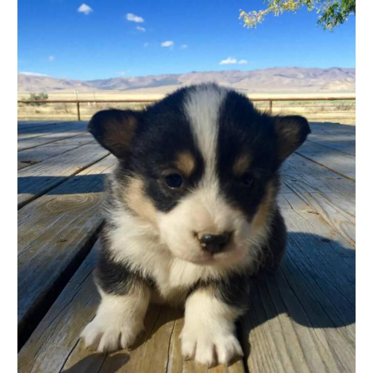 Pembroke Welsh Corgi Malta, Adorable AKC registered corgi puppies for sale! 3 males available! Will come with first pair of shots and wormed! Both m...