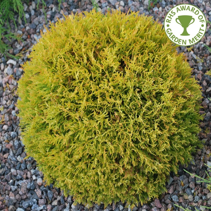 how to use thuja occidentalis