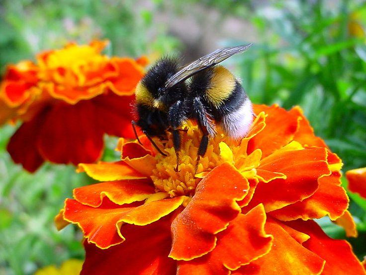 Buddy the (Bumbling) Bumblebee