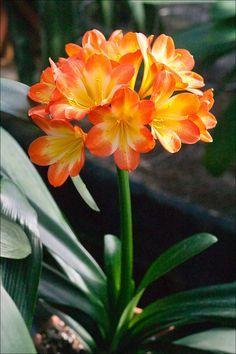 Clivia miniata, Hattori Tricolor. Colorado Clivia's plant number 2612E.