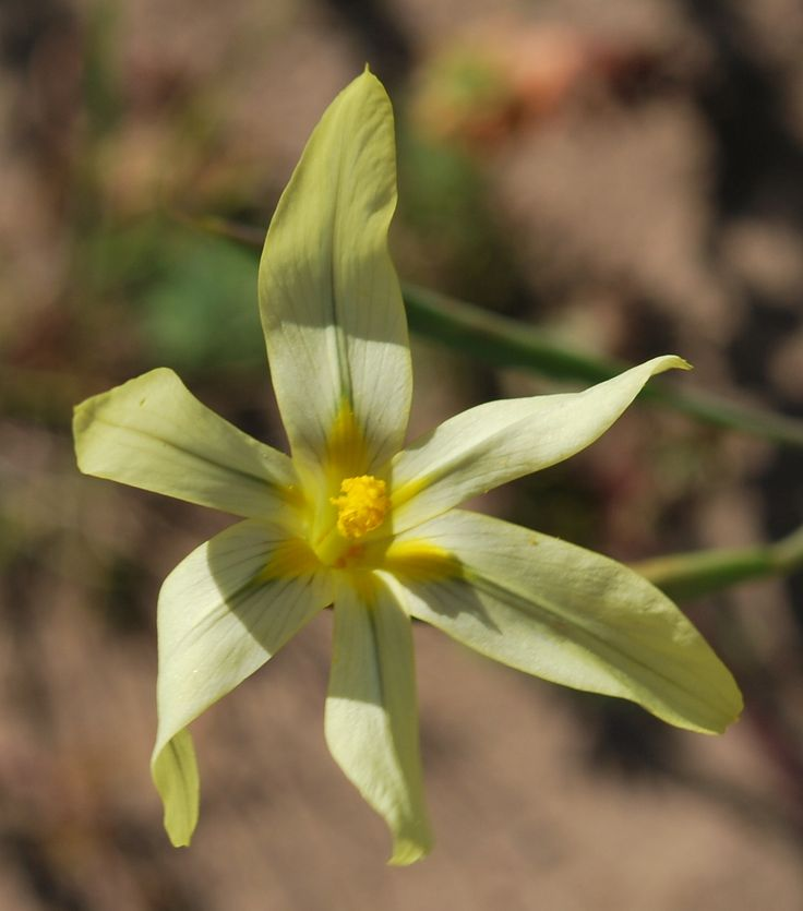 Moraea collina from Portbeaufort, Suurbraak. Photo Charles Stirotn http://www.ispot.org.za