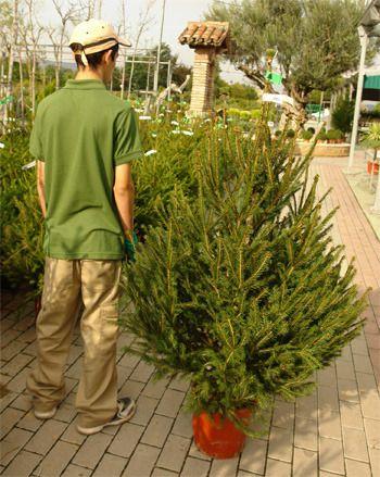 Árboles de navidad (Picea excelsa) Garden center venta online. Comprar plantas por internet.