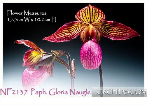 Paph. Gloria Naugle (micranthum ' Bear-101' x rothschildianum ' New Bear ' SM/TPS)