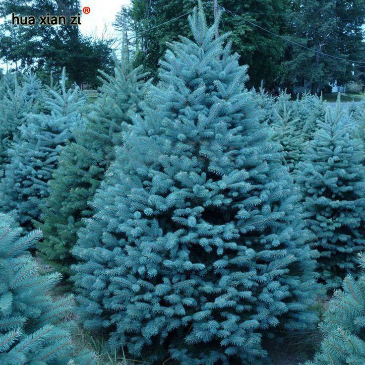 Бонсай Голубая Ель Picea Pungens Семена Семена Evergreen Tree 100 частиц/мешок купить на AliExpress