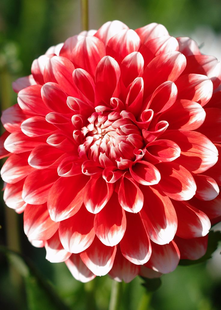 ~~Olson's Folly Dahlia | Formal Decorative. The bright orange petals have random white tips. The exact color of each 5 inch flower is a surprise. Long season of crowd pleasing blooms with great stems.  One of the best!! | Corralitos Gardens~~