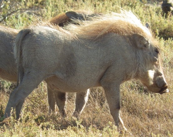 Warthog. Addo Elephant Park, South Africa. Photography by Wayne Visser. Copyright 2013.