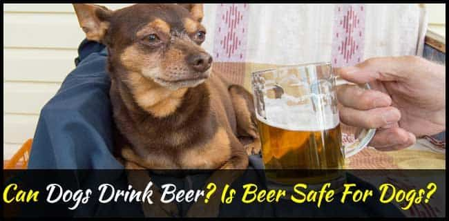 Can Dogs Drink Beer Is Beer Safe For Dogs Dogsfud With Images Drinking Beer Beer Safe Beer