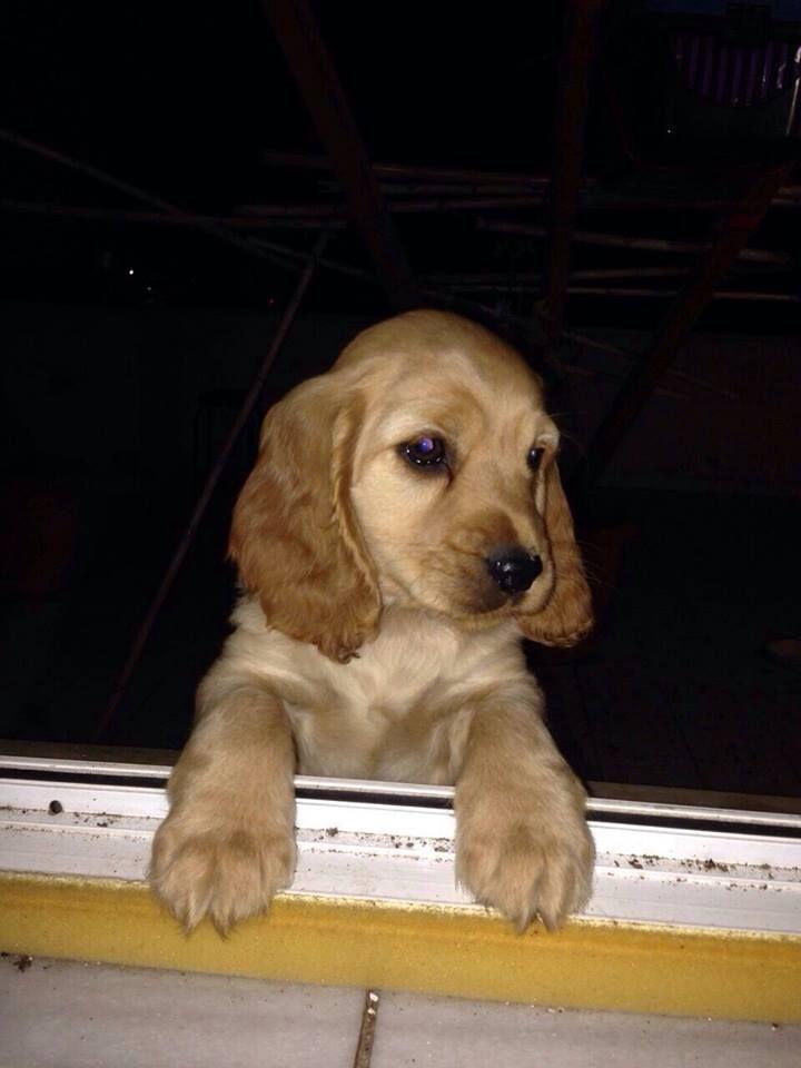 #ajanbrian #ajanimo #köpek #cockerspaniel #dog #animal #hayvan #kemik #pet #hayvanlaralemi #hayvansever #hayvansevgisi #satınalmasahiplen #baby #bebek