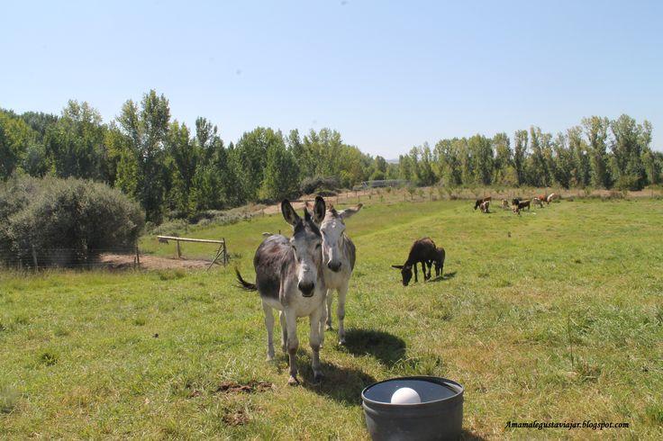 Burros en una granja cercana al río Jerte a su paso por Carcaboso (Cáceres)
