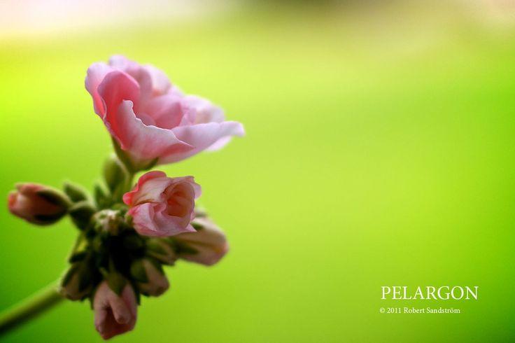 Pelargon