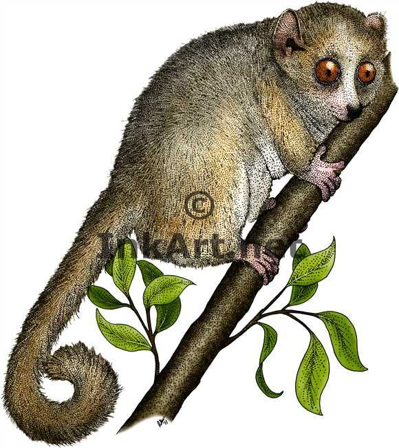 Full color illustration of a Gray Mouse Lemur (Microcebus murinus)