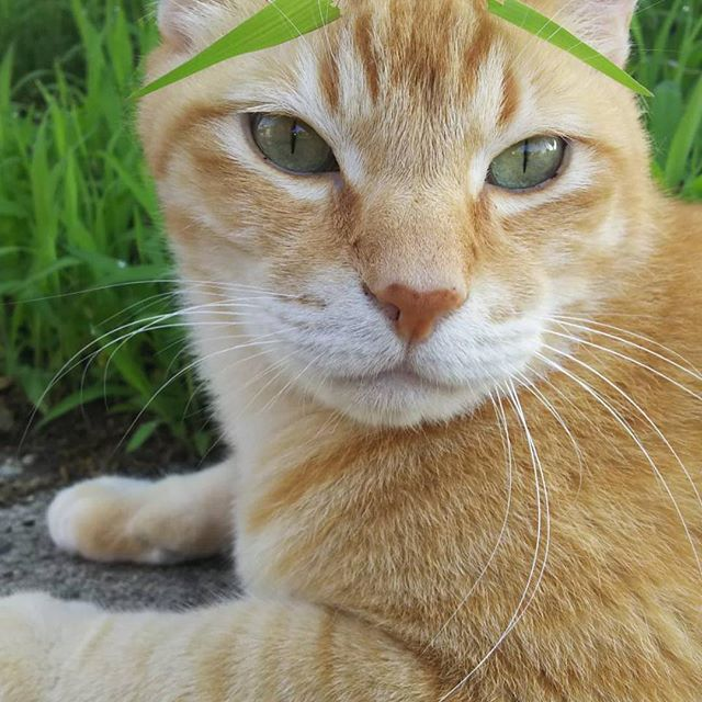 #おはようございます #凛太朗です  みてみて!眉ティントしたの! 眉ティント♡ これで毎朝のお化粧が楽になるわ〜💄 #凛太朗 #愛猫 #cat #cats #catstagram #rinstagram #猫 #mix #デブ猫 #デブとは呼ばせない #茶トラ #茶トラ男子部 #茶トラ猫 #自宅警備員 #守るのは宅内のみ #外は範疇外 #ビビり #ビビ凛太朗 #しましましっぽ倶楽部 #イケにゃん #イケメン猫 #眉ティント #美意識過剰 #雄猫 #おかま猫 #オネェ猫