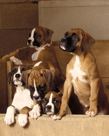 Boxer Puppys morningbliss