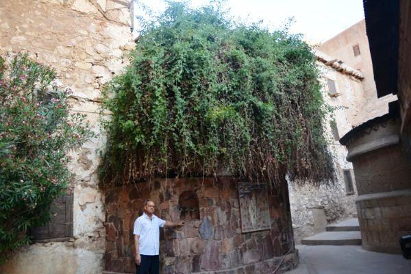 شجرة عليقة بطور سيناء تؤكد قدسية الشجرة داخل دير سانت كاترين Places To Visit Places Visiting