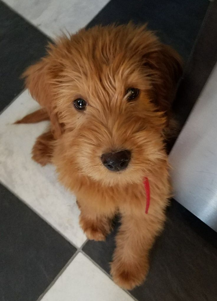 Opie... Our little red Labradoodle