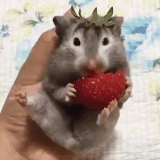 Este hámster se comenzó a comer una fresa y se terminó convirtiendo en una