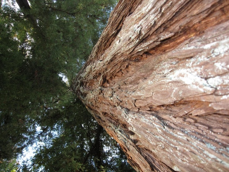 Red Wood in Sonoma, CA