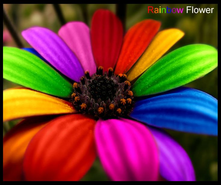 .Colors Flower, Gerbera Daisies, Minis Dog Qu, Outdoor Crafts, Rainbows Colors, Mornings Workout, Flower Power, Flower Beds, Rainbows Flower