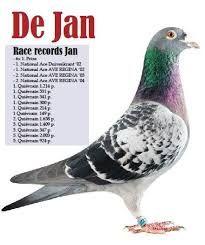 """Képtalálat a következőre: """"leo heremans racing pigeons"""""""