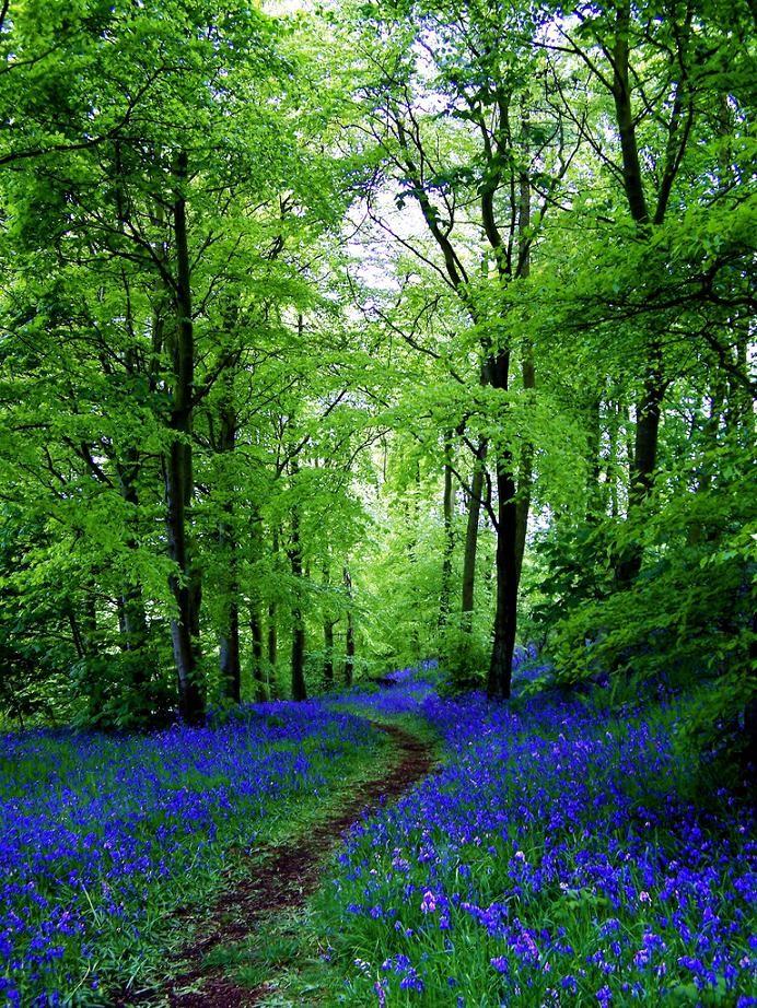 ✯ Bluebell Path - Fife, Scotland