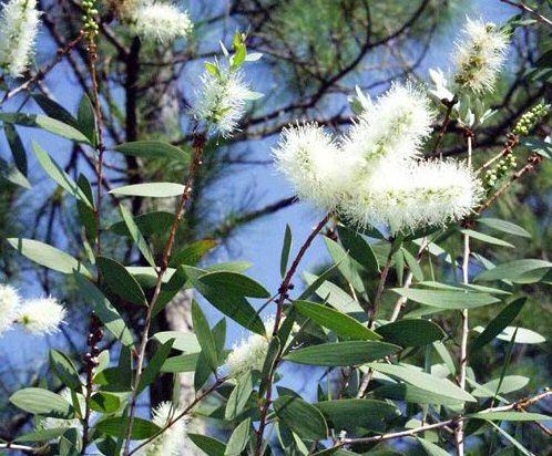Эфирное масло ниаули  Масло получают из листьев душистого растения ниаули семейства миртовых, произрастающего в Австралии и Новой Гвении. Аромат напоминает камфору, мирт, эвкалипт и сладковатые нотки мирры.  Благотворно действует на нервную систему, мягко тонизируя мозговую деятельность. Способно снимать депрессивные состояния – даже сильные и затяжные. Помогает восстановиться после стресса или сильного эмоционального потрясения. Помогает расслабиться, успокоиться и обрести душевные силы и…