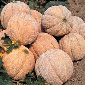 20PCS Japan Fruit Cantaloupe Melon Seeds Original Superior Honey Dew Green Flesh fruit Seeds~Delicious Muskmelon Seeds plant