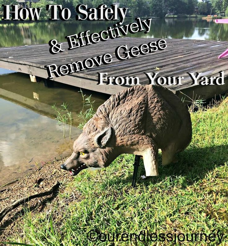 See how to humanely rid your yard of Canadian geese! ourendlessjourney.com