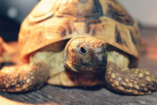 This is Rozi and she is testudo hermanni (the greek tortoise).