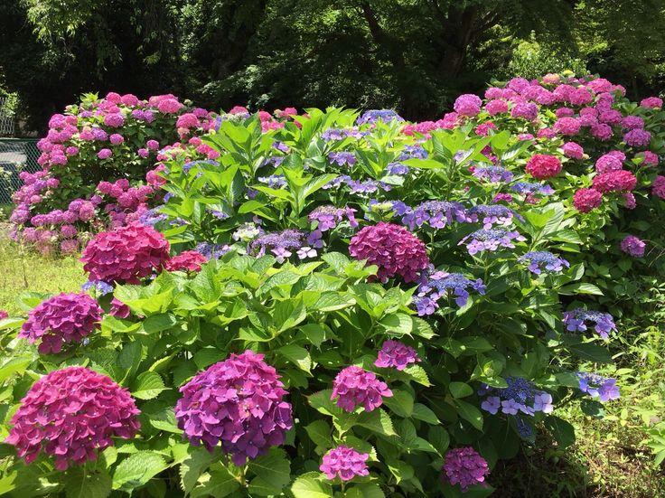 箱根 あじさい Hydrangea in Hakone