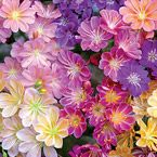"Rainbow Lewisia Mix Light: Full sun to partial shade Height: 8-10"" Bloom Time: Mid to late spring Size: Potted Zones: 5 to 8"